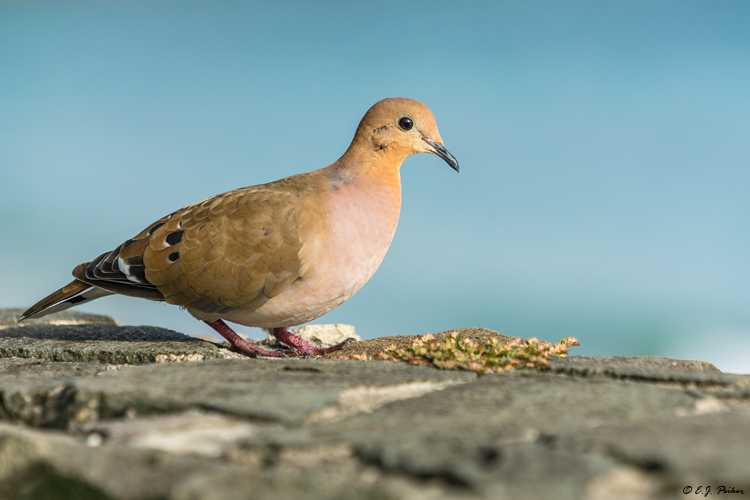 zenaida dove - photo #39