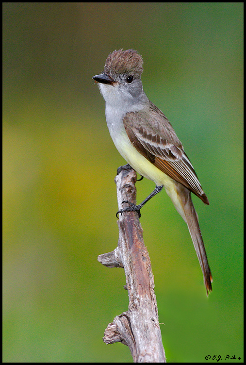 Ash-throated Flycatcher, Roma, TX