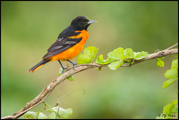 Baltimore Oriole, Galveston, TX