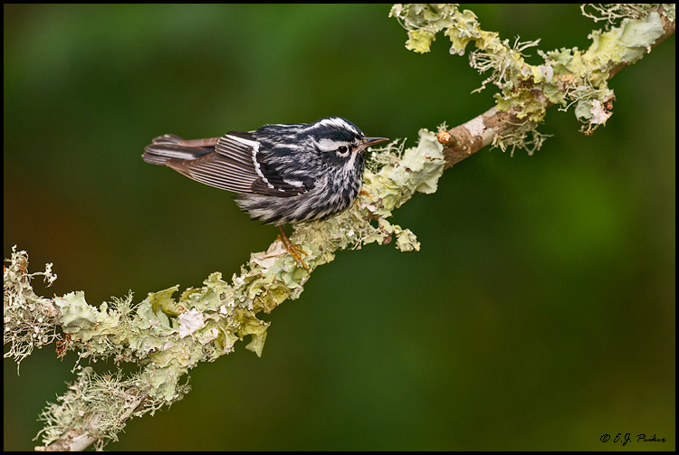 Black and White Warbler, Galveston, TX