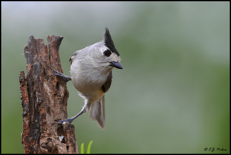 Black-crested Titmouse, Roma, TX