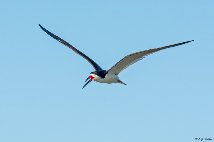Black Skimmer, Follets Island, TX