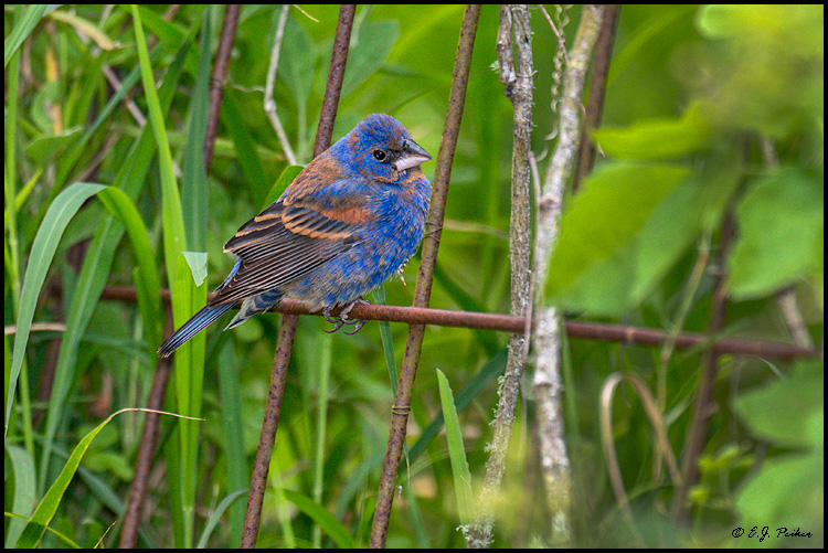 Blue Grosbeak, Galveston, TX