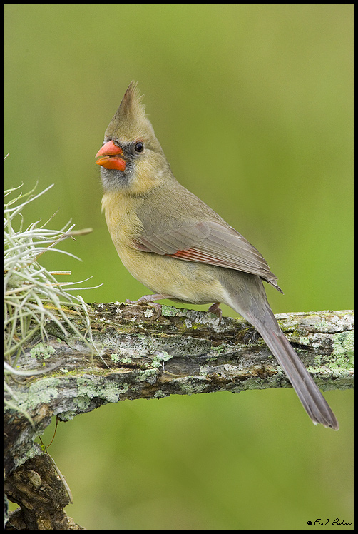 Northern Cardinal Page