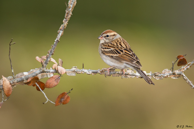 Chipping Sparrow, Spring, TX