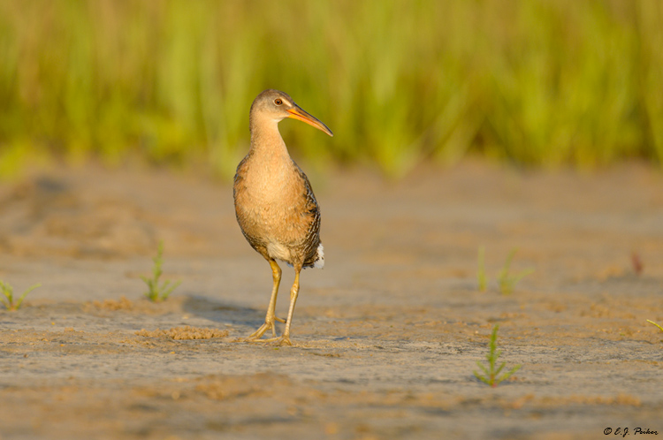 Clapper Rail, Galveston, TX