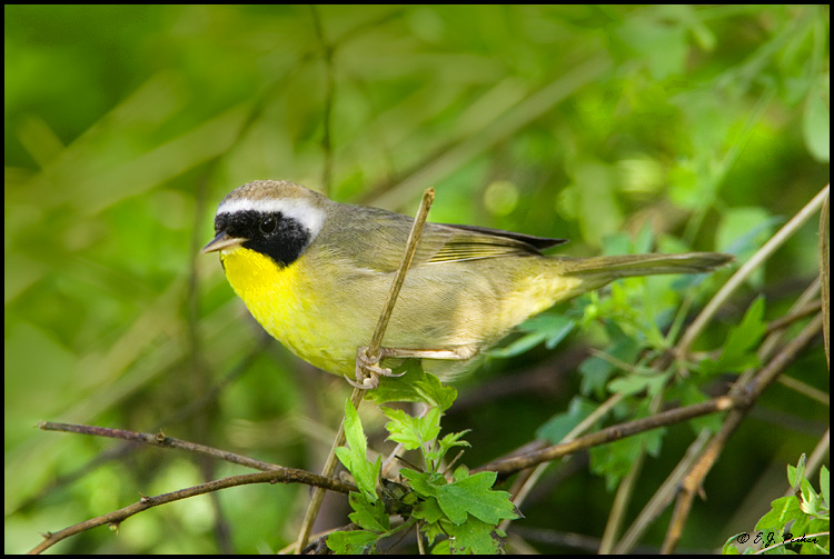 Common Yellowthroat, Edinburg, TX