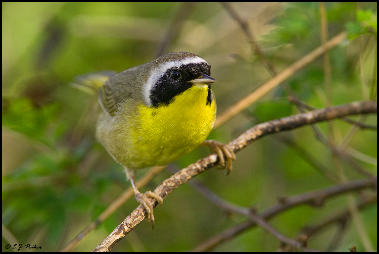 Common Yellowthroat Page