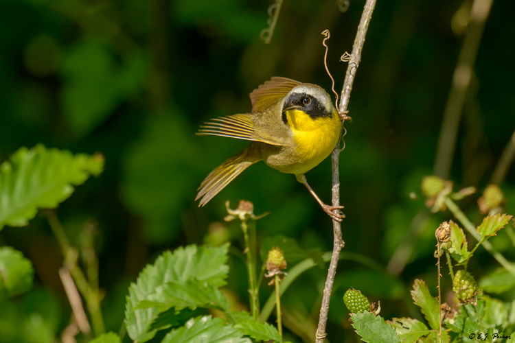 Common Yellowthroat, Galveston, TX