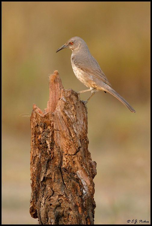 Curve-billed Thrasher, Roma, TX