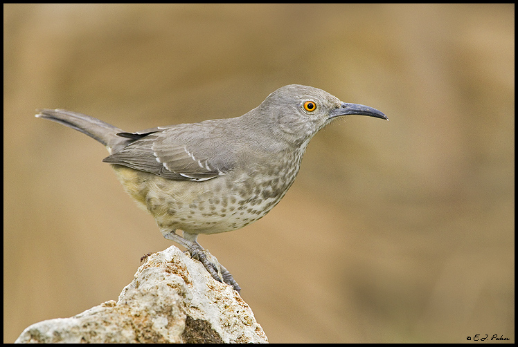 Curve-billed Thrasher, Edinburg, TX