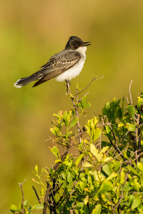Eastern Kingbird, Galveston, TX