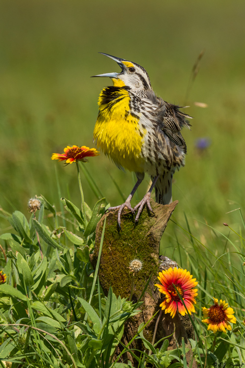 Eastern Meadowlark, Galveston, TX