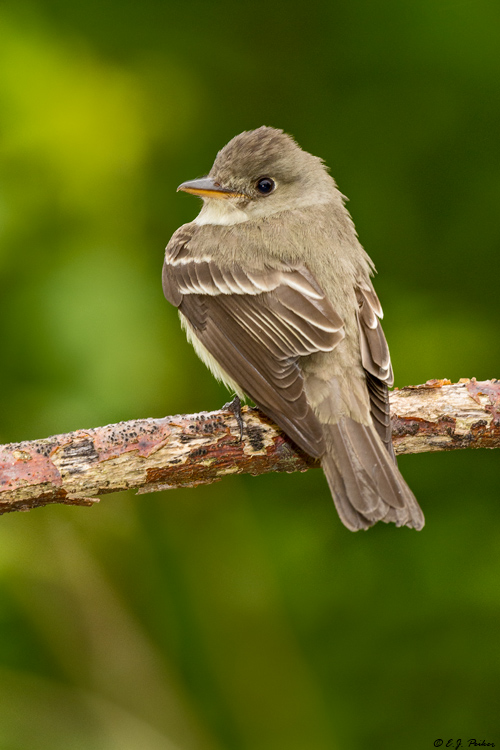 Eastern Wood Pewee, Galveston, TX