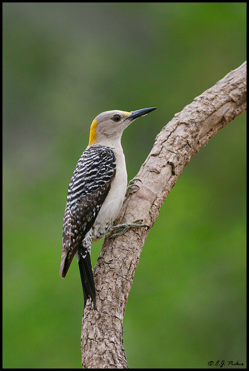 Golden-fronted Woodpecker, Roma, TX