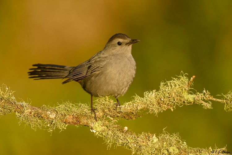 Gray Catbird, Galveston, TX