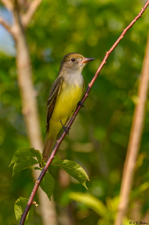 Great-crested Flycatcher, Galveston, TX