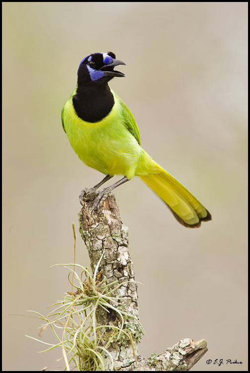 Green Jay, Edinburg, TX