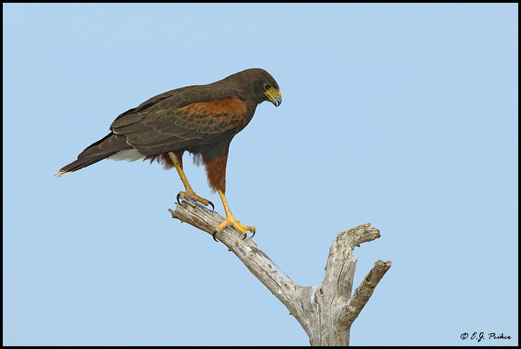 Harris's Hawk, Roma, TX
