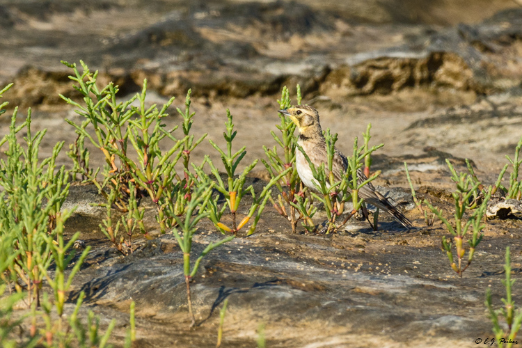 Horned Lark, Galveston, TX