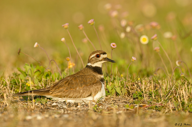 Killdeer, Galveston, TX