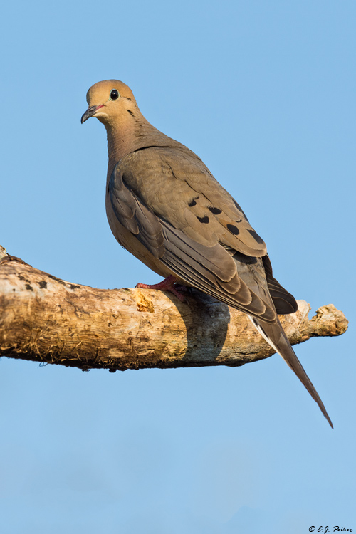 Mourning Dove, Galveston, TX