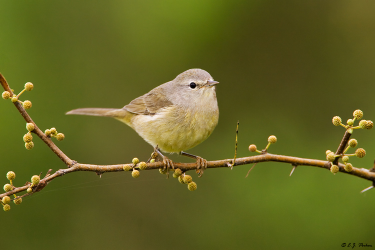 Orange-crowned Warbler, Edinburg, TX