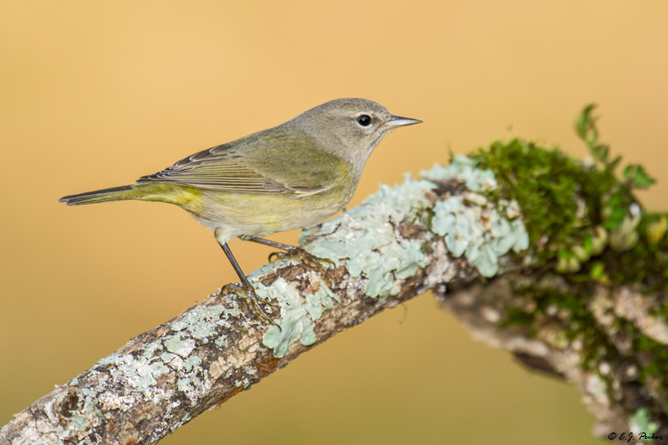 Orange-crowned Warbler, Spring, TX