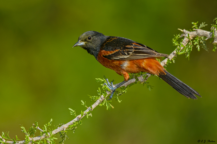 Orchard Oriole, Galveston, TX