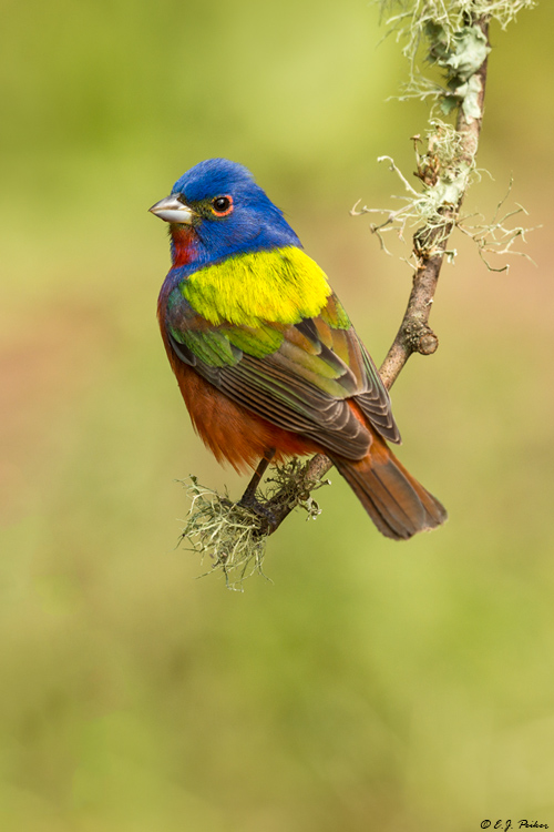 Painted Bunting, Galveston, TX