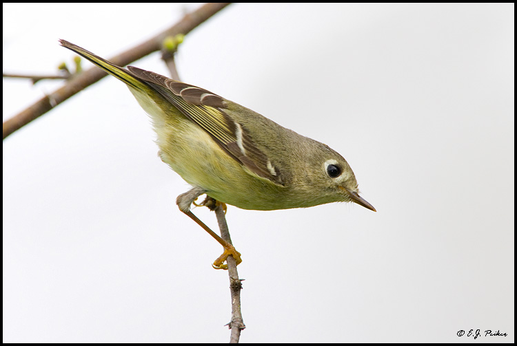 Ruby-crowned Kinglet, Edinburg, TX