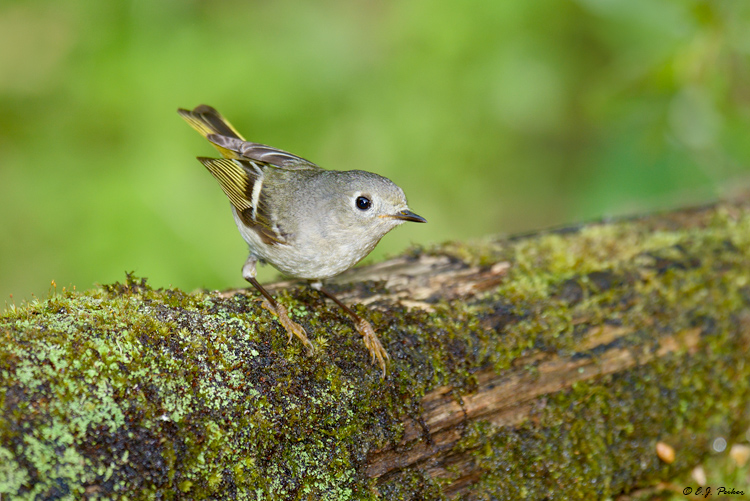 Ruby-crowned Kinglet, Galveston, TX