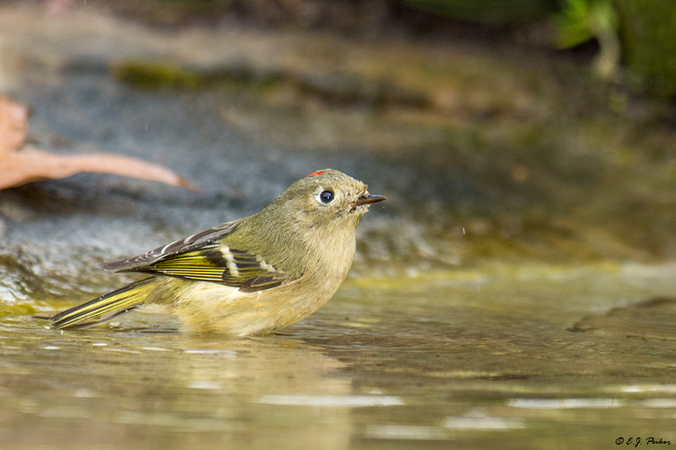 Ruby-crowned Kinglet, Spring, TX