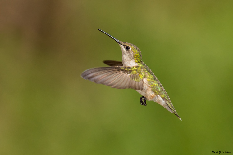 Ruby-throated Hummingbird, Galveston, TX