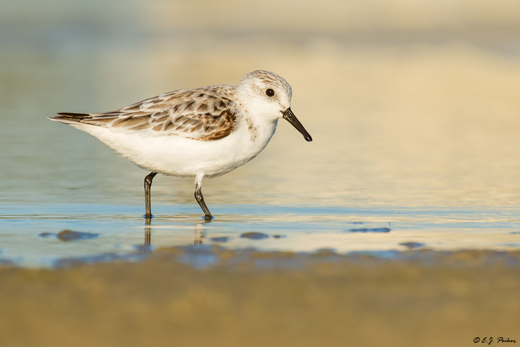 Sanderling, Follets Island, TX