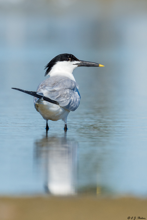 Sandwich Tern, Follets Island, TX