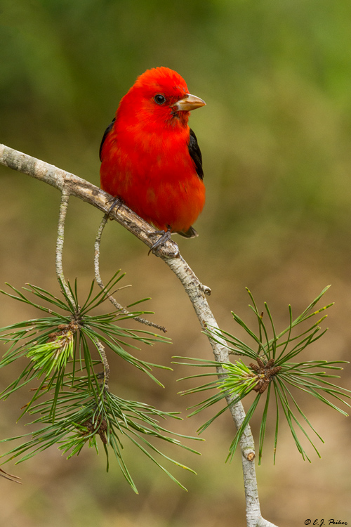Scarlet Tanager, Galveston, TX