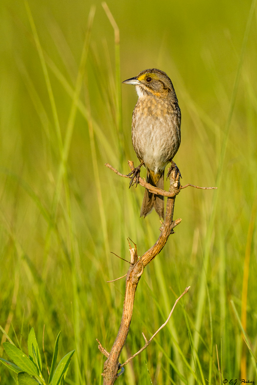 Seaside Sparrow, Galveston, TX