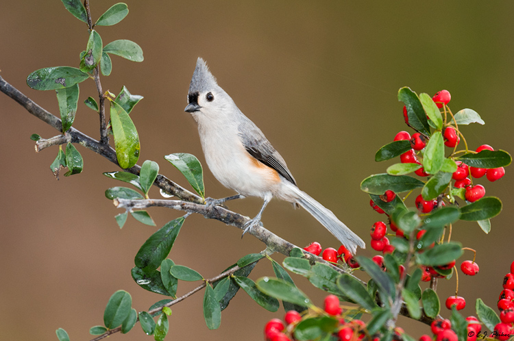 Tufted Titmouse, Spring, TX