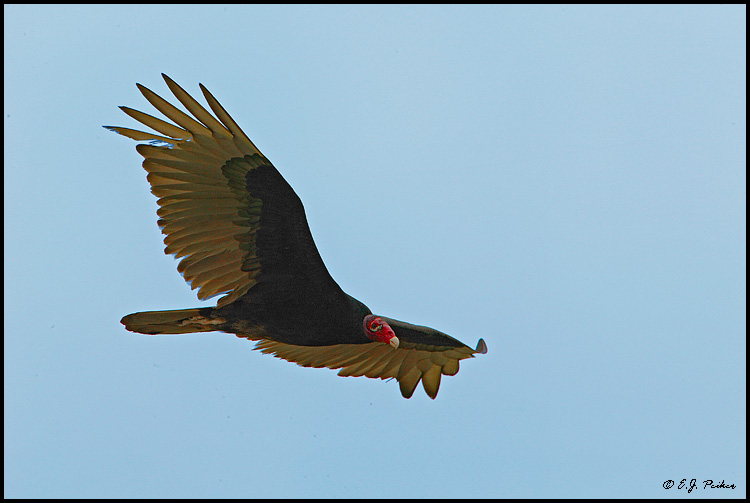 Turkey Vulture, Roma, TX