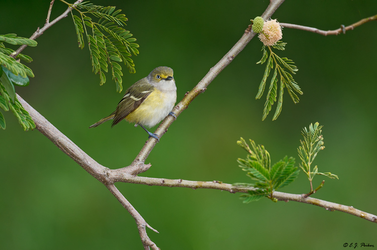 White-eyed Vireo, Galveston, TX