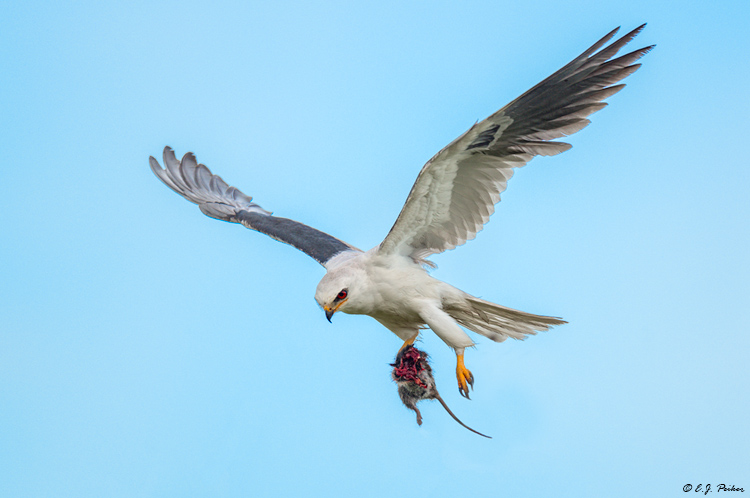 White-tailed Kite, Galveston, TX