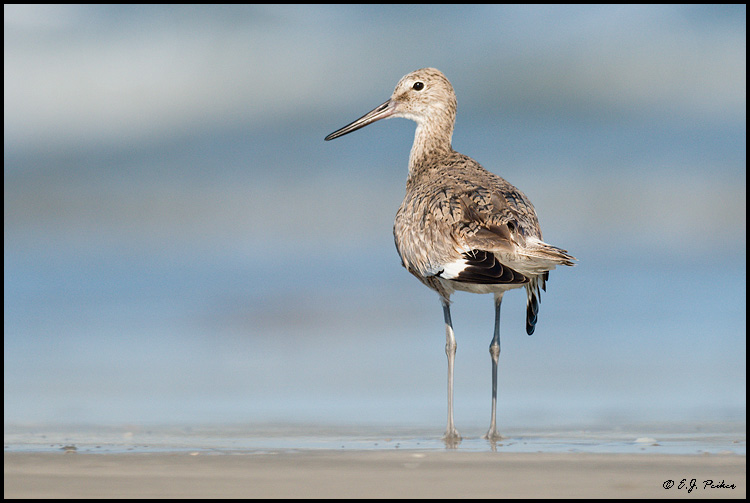 Willet, Galveston, TX