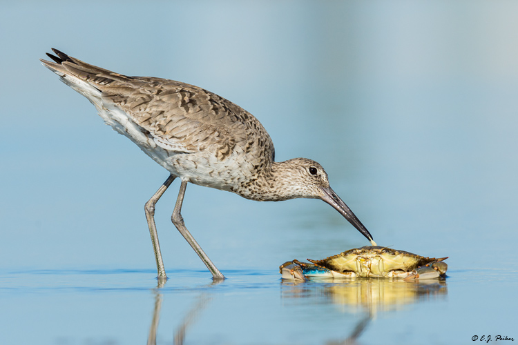 Willet, Follets Island, TX