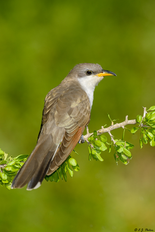Yellow-billed Cuckoo, Galveston, TX