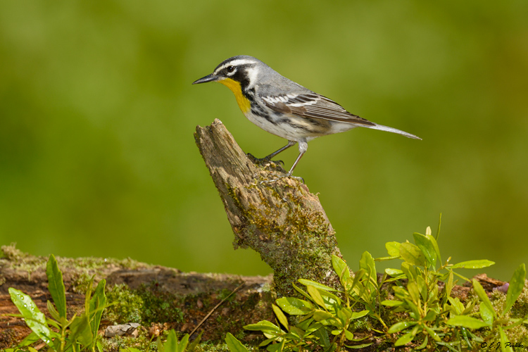 Yellow-throated Warbler, Galveston, TX