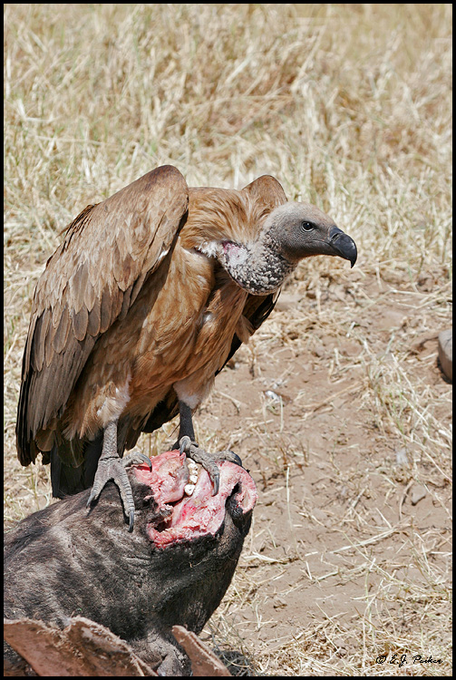 White-backed Vulture, Tanzania