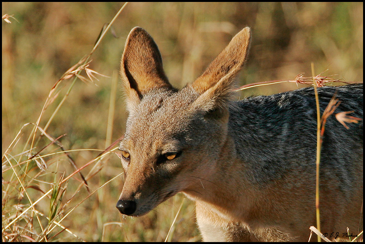 Black-backed Jackal, Tanzania