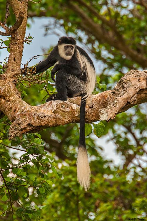 photoes of animal black & white colobus monkey