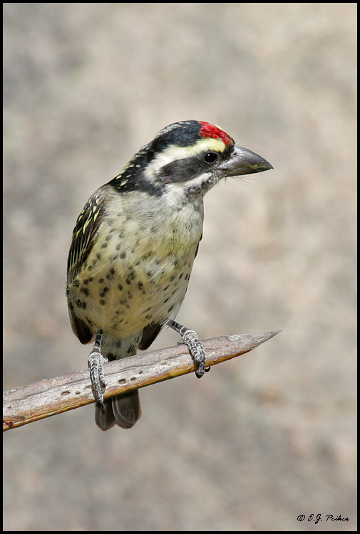 Red-fronted Barbet, Tanzania